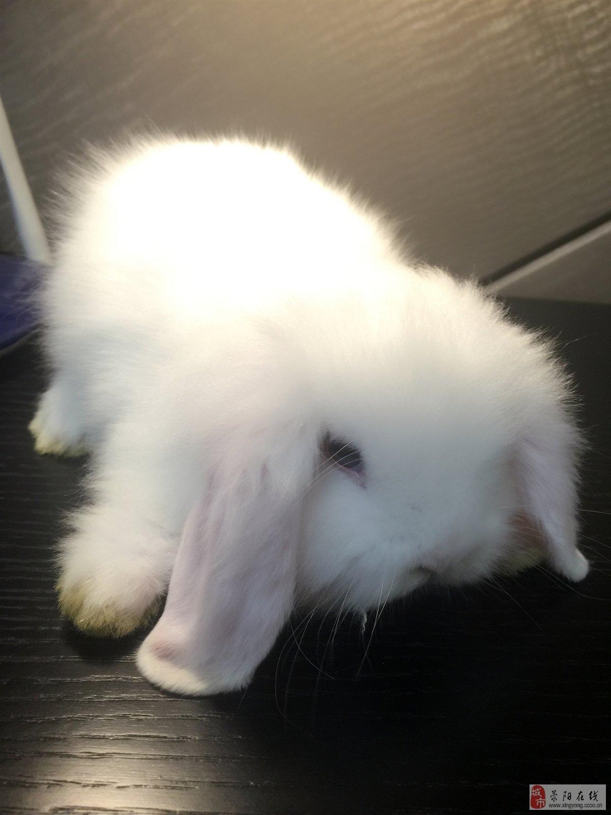垂耳兔,猫猫兔,宠物兔