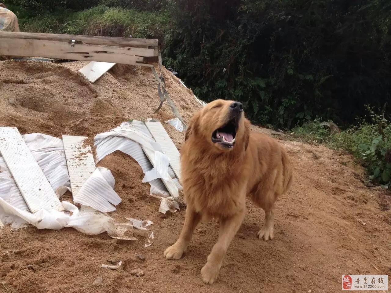 出售狼狗.拉布拉多,金毛幼崽