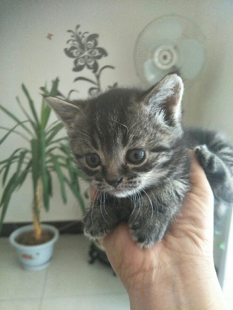 出售美短幼貓
