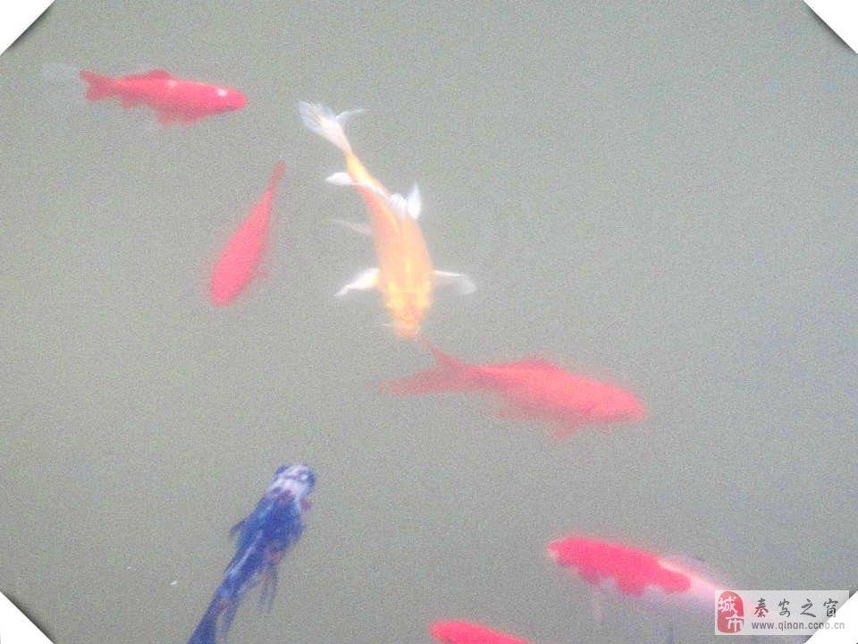 水里的鱼静静的游