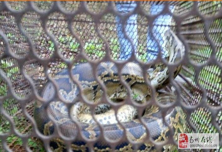 高州古丁村民发现一条30斤大蟒蛇