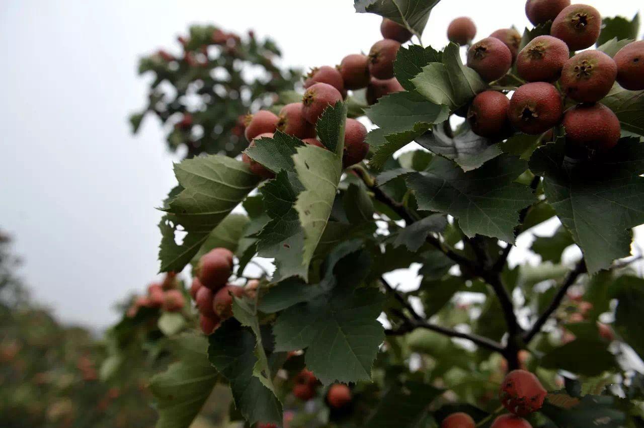 一排排山楂树结满了果子