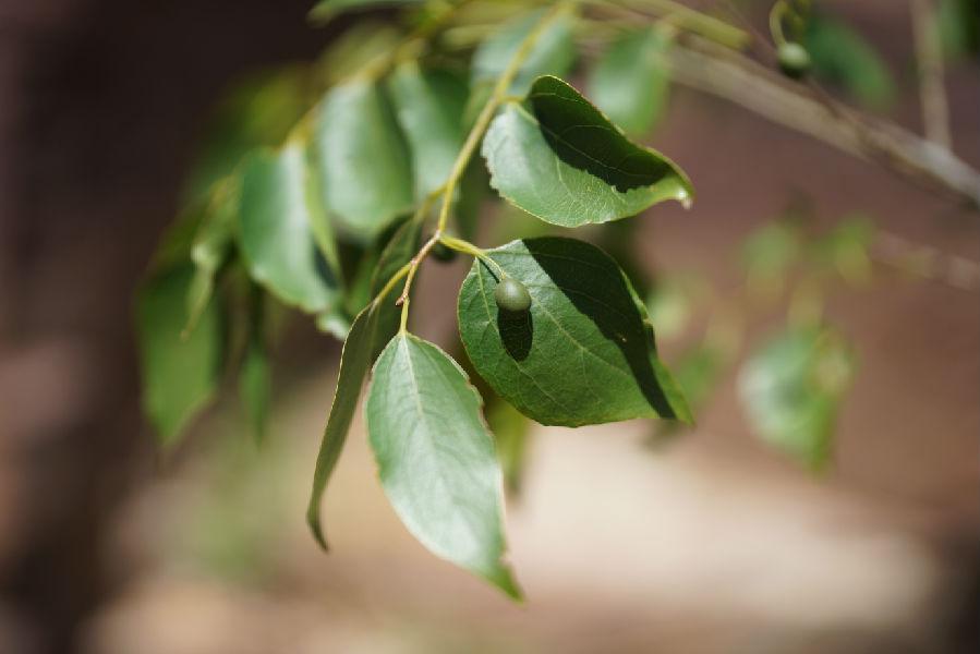 小叶朴树当地群众叫棒棒树,是一种古老的树种和药用植物,在距今7500年