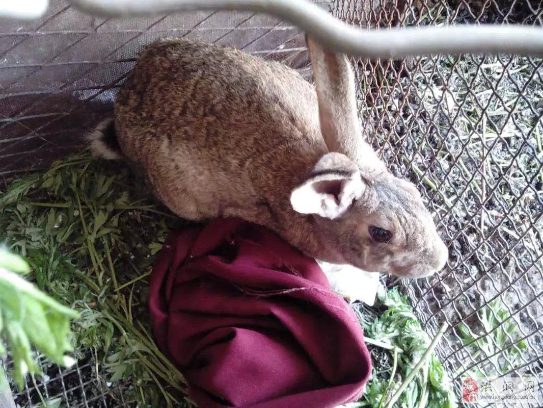 出售家养小兔子