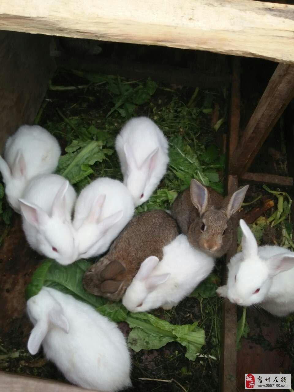 纯白小白兔15块钱一只