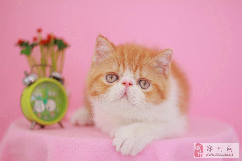 小母加菲猫出售了
