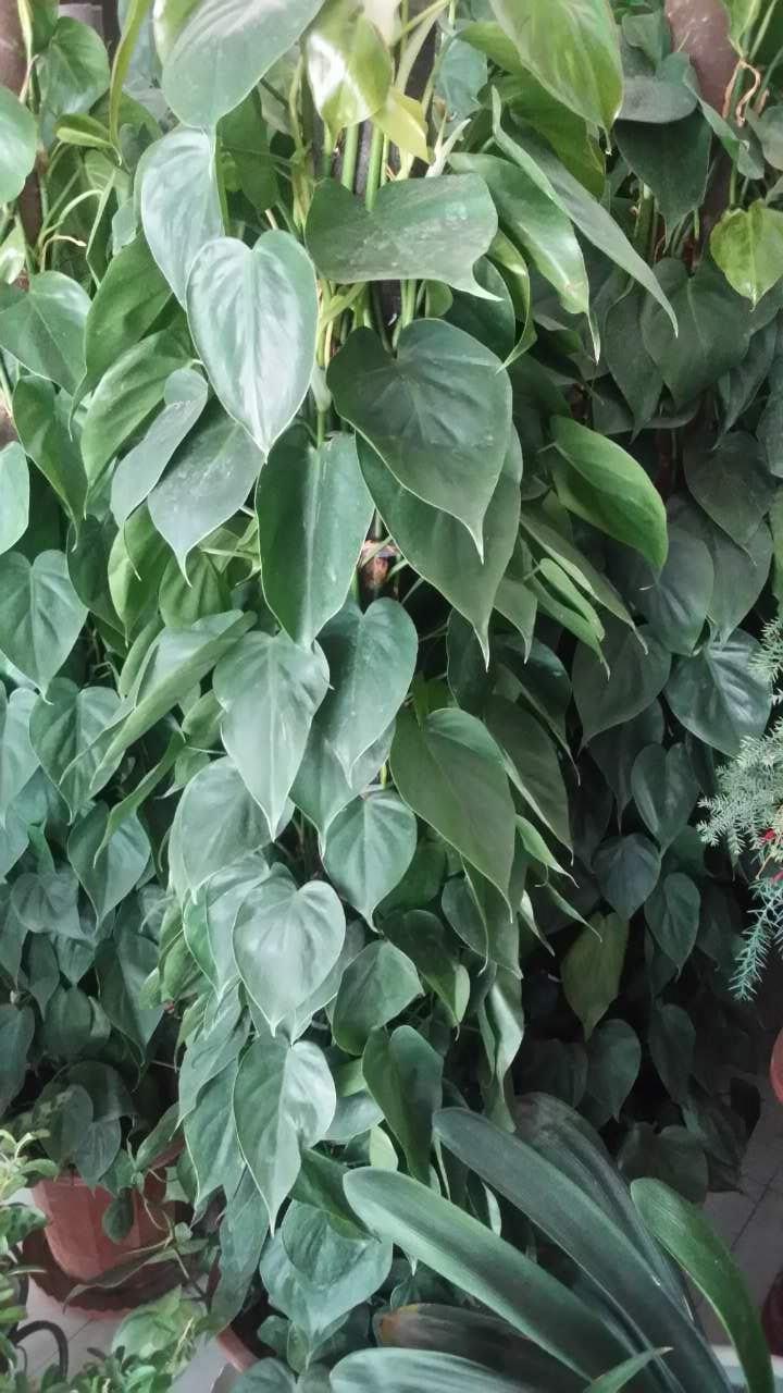 龙血树,平安树,发财树, 澳洲杉,金钱树,散尾葵,米兰,非洲茉莉,兰花,仙