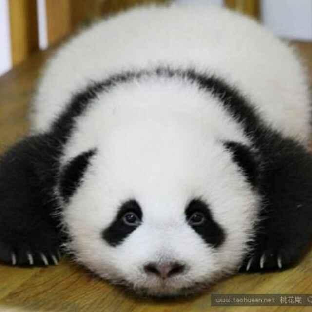 黑眼圈熊猫