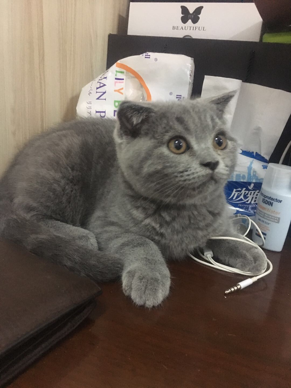出只兩個多月的藍貓