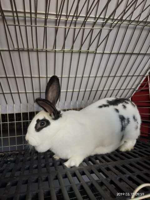 肉兔宠物兔