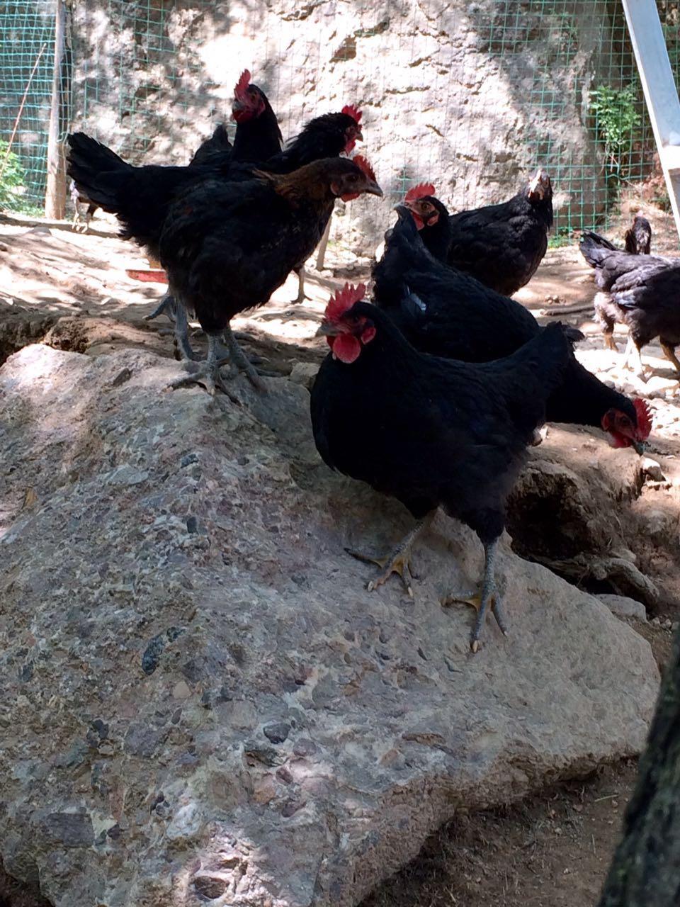 武山县绿荫家庭农场地处风景秀美的滩歌镇费庄村,是一家集山林野外放养及销售土鸡、山鸡的个体企业。  该农场林地和草地资源丰富,优选正宗农家土鸡鸡种,放养在无污染的山林中,以饮山泉水、寻青草、昆虫,辅料以玉米、杂粮喂养,无抗生素及药物残留,是真正的饮山泉水食野菜长大的生态鸡。同时,土鸡在自然环境中活动量大、自我觅食能力强、食物种类繁多营养丰富。  农场负责人费新寿经过多年的养殖,积累了大量的成功经验,以天然、绿色、安全为宗旨,以肌肉丰满,肉质鲜美,鸡味浓郁,营养价值高的绿色食品为追求,深受各地客商
